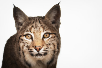 Portrait of Bobcat isolated on white - image
