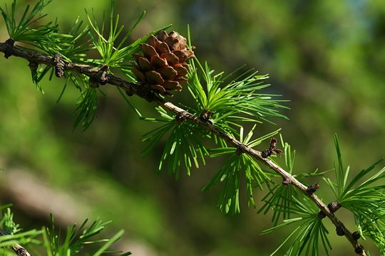 Detail of branch of coniferous European larch tree, latin name Larix Decidua,  with needle fascicles and single small cone, spring afternoon sunshine.