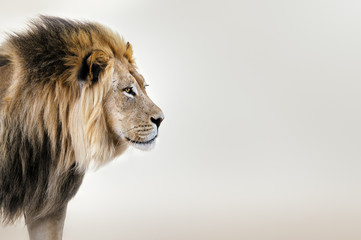 In de dag Leeuw Male lion from the Kgalagadi desert facial portrait in fine art. Panthera leo