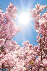 Fototapeta Kwitnące magnolie w pięknym słońcu obraz