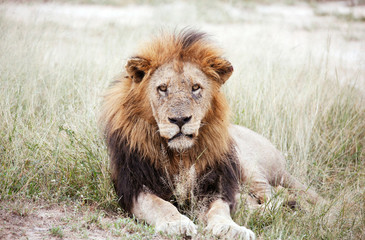 A Lion is seen at a game reserve adjacent to the world-renowned Kruger National Park in Mpumalanga province