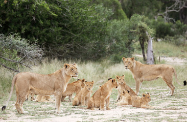 A pride of lions is seen at a game reserve adjacent to the world-renowned Kruger National Park in Mpumalanga province