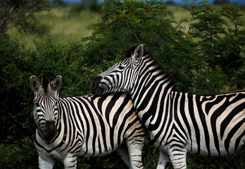 Zebras are pictured at a game reserve adjacent to the world-renowned Kruger National Park in Mpumalanga province