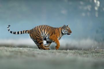 Tiger hunting on foggy morning. Siberian tiger, dangerous animal, Panthera tigris altaica.