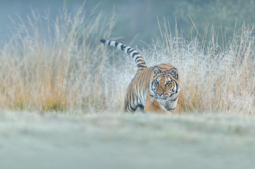 Siberian tiger hunting in high yellow grass. Low angle photo. Siberian tiger, Panthera tigris altaica.