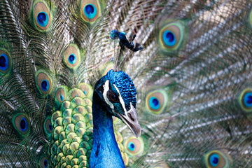 Amazing peacock during his exhibition