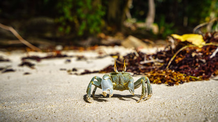 Portrait of a Horned Ghost Crab in the sand, seychelles 4