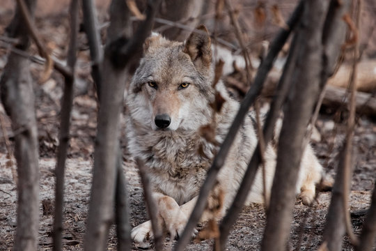 A she-wolf lies among the trees (thickets).Powerful predator gray wolf in the woods in early spring.