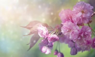 Prunus serrulata Kanzan-Hintergrund
