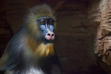 The pensive face of a madril monkey Rafiki  on a dark background.