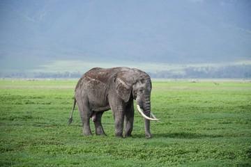 Elefant im Ngorongoro Krater
