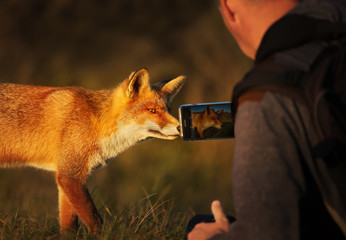 Photographer taking picture of a red fox with a smart phone