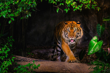 Foto op Canvas Tijger The Siberian tiger (Panthera tigris tigris) also called Amur tiger