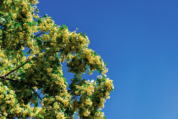 branches of blossoming linden on the blue sky background. beautiful nature scenery on a sunny summer noon.