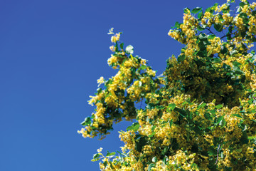 branches of blossoming linden on the blurry blue sky background. closeup with shallow depth of fielld. beautiful nature details in summer.