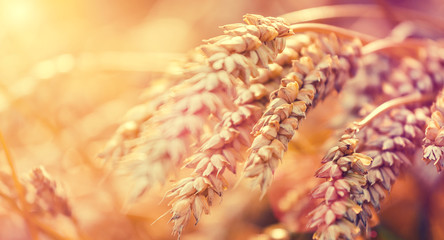 Macrophoto of Wheat. Full of Ripe Grains, Golden Ears of Wheat or Rye on a Field. Rich Harvest Concept. Majestic Rural Landscape. Creative Picture of Nature. Label art design. Copy space