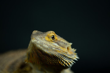 Bearded Dragon close up of face and spikes