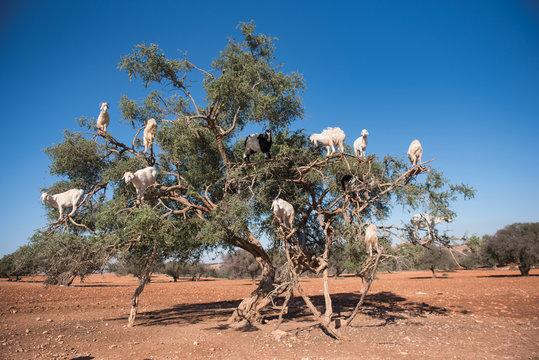 Goats climbed up on an Argan Tree