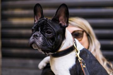 potrait of a french bulldog