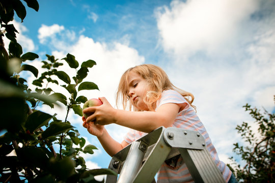 toddler girl on a ladder picking an apple at the orchard