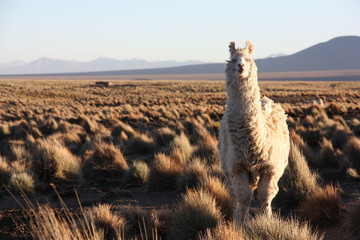 A white, furry Lama looks quisically into the lens in the golden Altiplano in Bolivia