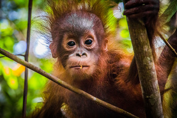 World's cutest baby orangutan looks into camera as it hangs in a tree in the jungles of Borneo