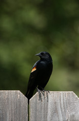 Wall Mural - Red-winged Blackbird