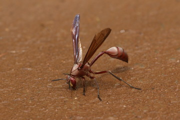 Large african wasp drinking water from the mud. Picture from a safari in Uganda.