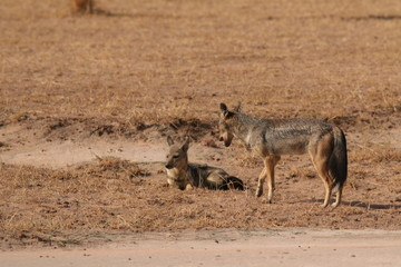 The side-striped jackal, a species of predatory mammal, native to east and southern Africa. A picture from its natural environment.