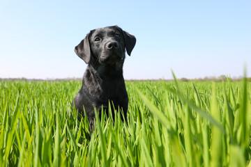 Junger Labrador Spaziergang in Feldern