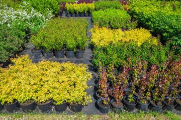 Spirea plants in plastic pots, seedling of plants at plant nursery.