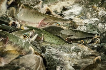 Salmon season in Alaska, in town of Valdez and Prince William Sound