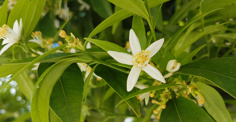 orange tree flowers fresh aroma green leaves for detergent background