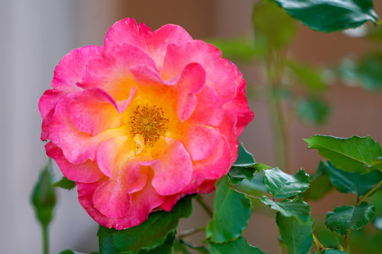 Pink rose blooming during spring time