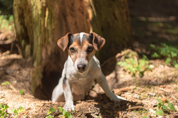 Cute Jack Russell Terrier hunting dog is looing out of a cave