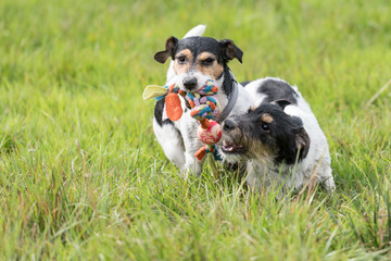 Two dogs run and play with a ball in a meadow. A young cute Jack Russell Terrier puppy with her bitch