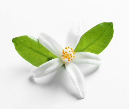 Beautiful blooming citrus flower and leaves on white background