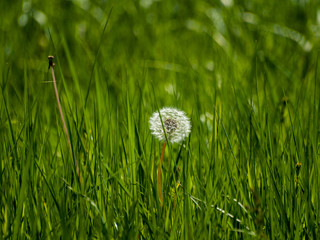 Dandelion seed (Taraxacum officinale) in spring in the grass