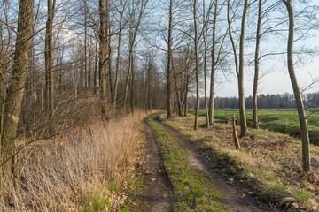 Leśna droga przez sosnowy las.