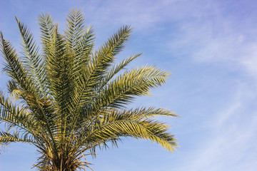 palm branches tropic tree sky soft blue sky background with clouds, copy space