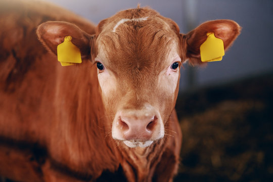 Close up of cute curious calf with tags on ears looking at camera. Byre interior.