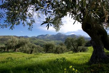Photo sur Toile Oliviers Ulivo, campagna, uliveto e ulivi