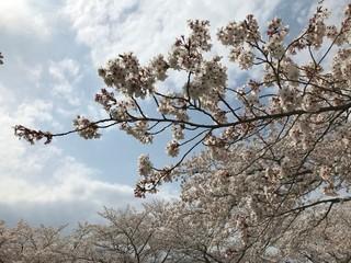 Sakura, Cherry Blossom in Spring Japan