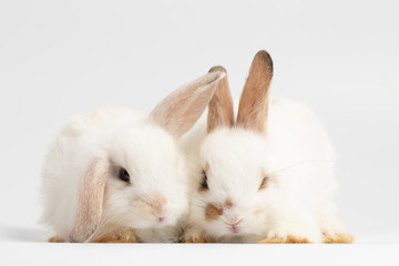 Little couple rabbit sitting on isolated white background at studio. It's small mammals in the family Leporidae of the order Lagomorpha. Animal studio portrait.