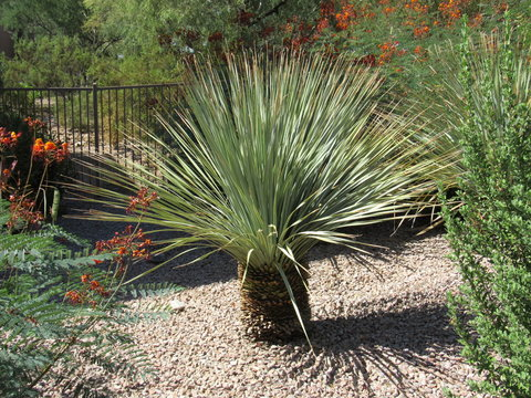 A small yucca plant in a garden in Scottsdale, Arizona on a sunny day