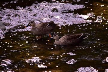 カモと桜の花びら~Duck and Cherry blossom.