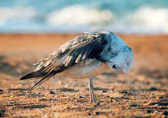 White-headed gull (Larus cachinnans pontisus) on Black sea Fotoväggar