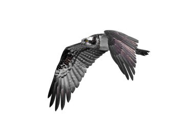 Osprey (Pandion haliaetus) Fototapete