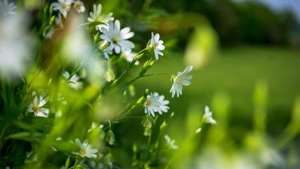 Fleurs blanche dans la foret