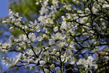 Flowering of trifoliate orange, poncirus trifoliata, citrus trifoliata in the spring garden